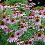 Purple coneflower (Echinacea purpurea)_Jordan Meeter_CC BY 2.0_Flickr