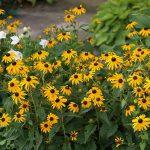 Rudbeckia fulgida-var-sullivantii-Goldsturm_F-D-Richards_CC BY-SA 2.0_NCSU