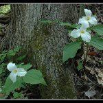Trillium Trio - UWGB Arboretum_Tim_CC BY-NC-ND 2.0_Flickr