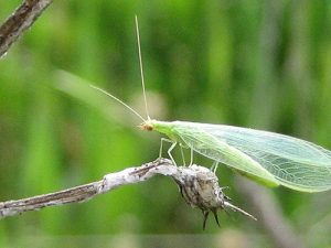 Lacewing_Nell Kelley_CC BY-NC 2.0_Flickr