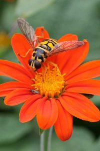 Syrphid fly_Debbie Ross_NCState_AgExtAgent
