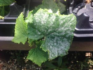 Powdery mildew_Dr Lina Quesada_NCSU Vegetable Pathology Lab