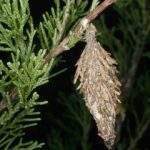 Bagworms on arborvitae_NC Cooperative Extension-NCSU