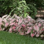 Caladiums_DavidMartin_CC BY 2.0_Flickr
