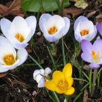 Crocuses_color line_CC BY 2.0_Flickr