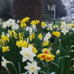 Daffodils_KevinGessner_CC BY 2.0_Flickr