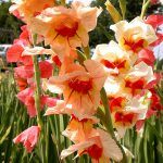 Gladiolus_Carl Lewis_CC BY 2.0_Flickr
