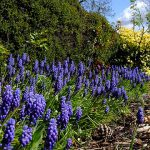Grape Hyacinth_Dave Gunn_CC BY-NC 2.0_Flickr
