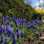 Grape Hyacinth_Dave Gunn_CC BY-NC 2.0_Flickr