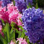 Hyacinths_Jessica_CC BY-NC-ND 2.0_Flickr