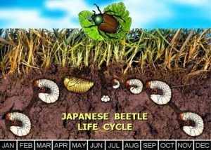 Japanese Beetle Life Cycle_Buncombe County Extension Master Gardeners