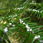 Woolly adelgids on hemlocks_SloanPoe_CC BY-NC-ND 2.0_Flickr