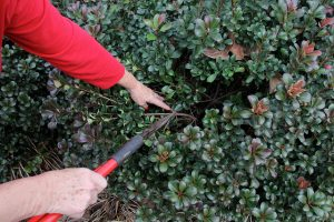Pruning_UGA College of Ag_CC BY-NC 2.0_Flickr