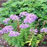 Color change of garden variety tall phlox: lavender in morning to raspberry in afternoon. Photo by Ray Cavenderp.