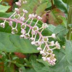 Pokeweed_Lorianne DiSabato_CC BY-NC-ND 2.0_Flickr_white flowers