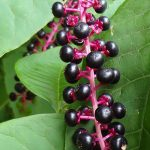 Pokeweed_Mike Ball_CC BY 2.0_Flickr_red berries