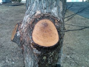 Limb Collar Intact_Freshly pruned silver maple_Eli Sagor_CC BY-NC 2.0_Flickr