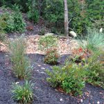 Rain garden berm planted with winterberry holly, itea, switchgrass, and crape myrtle.