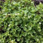 Common Chickweed_A J Cann_CC BY-SA 2.0_Flickr