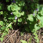 Henbit-Lamium amplexicaule_Algot Runeman_CC BY 2.0_Flickr
