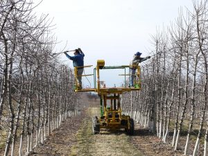 Mountain Horticultural Crops Research & Extension Center_Pruning a high density orchard