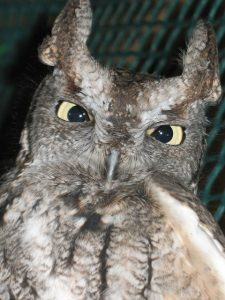 Otis the Eastern Screech Owl_Calvin Webster_CC BY-SA 2.0_Flickr