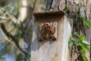 Screech Owl_Darnell Jordan_FWC Fish & Wildlife Research Institute_CC BY-NC-ND 2.0_Flickr