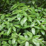 Spotted Laurel, Aucuba japonica_J Maughn_CC BY-NC 2.0_Flickr