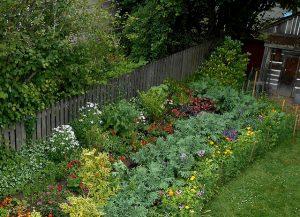 Backyard Kale in the flower garden_George Wesley & Bonita Dennells_CC BY-NC-ND 2.0_Flickr