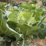 Collards_Jae-sun Gim_CC BY-NC 2.0_Flickr