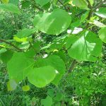 Heart-shaped leaves; Eastern redbud (Cercis canedensis)_heart-shaped leaves_Kerry Wixted_CC BY-NC 2.0_Flickr