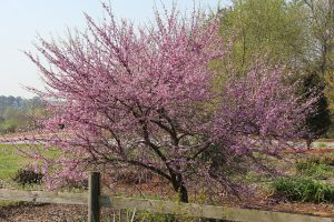 Eastern redbud_Cercis canadensis 'Silver Cloud'_UGA College of Ag_CC BY-NC 2.0_Flickr
