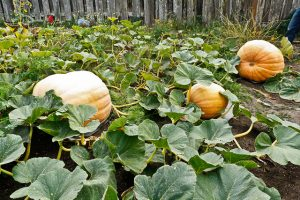 Giant Pumpkins_Erin_CC BY-NC-ND 2.0_Flickr