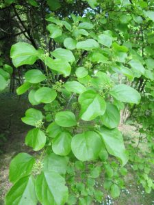 Oriental bittersweet (Celastrus orbiculatus)_Leonara Ellie Enking_CC BY-SA 2.0_Flickr