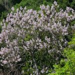 Paulownia tomentosa_Princess tree_in flower_James Gaither_CC BY-NC-ND 2.0_Flickr