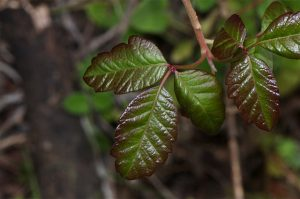 Poison Oak (Toxicodendron diversilobum)_Jerry Kirkhart_CC BY 2.0_Flickr