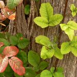 Poison Oak_Linda Tanner_CC BY-NC-ND 2.0_Flickr