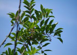 Poison sumac_Anna Hesser_CC BY-NC-ND 2.0_Flickr