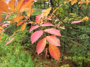 Poison sumac_Toxicodendron vernix_John Barber_CC BY 2.0_Flickr