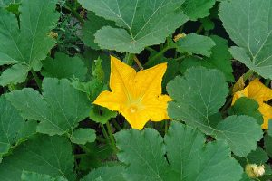 Pumpkin blossom_Josh Larlos_CC BY-SA 2.0_Flickr