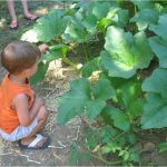 Child examines huge leaves in the school veggie garden.