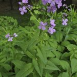 Dame's Rocket_Hesperis matronalis_whole plant-leaves-flowers_NY State IPM Program_CC BY 2.0_Flickr