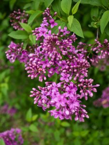 Lilac_Syringa vulgaris_F D Richards_CC BY-SA 2.0_Flickr