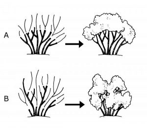 Pruning woody ornamental shrubs_heading cuts_NCSU Extension
