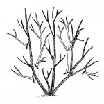 Pruning woody ornamental shrubs_thinning cuts_by NCSU Extension