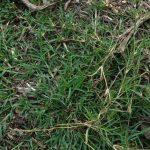 Bermudagrass stolens_by NCSU