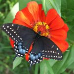 Black Swallowtail_John Flannery_CC BY-ND 2.0_Flickr