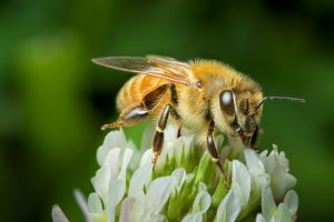 Honey bee on clover_Andy Murray_CC BY-SA 2.0_Flickr