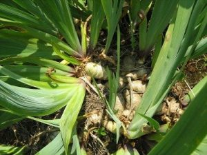 Iris rhizomes, overcrowded and ready for division