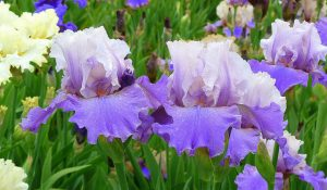 Irises in the Laking Garden_Tom Flemming_CC BY-NC 2.0_Flickr
